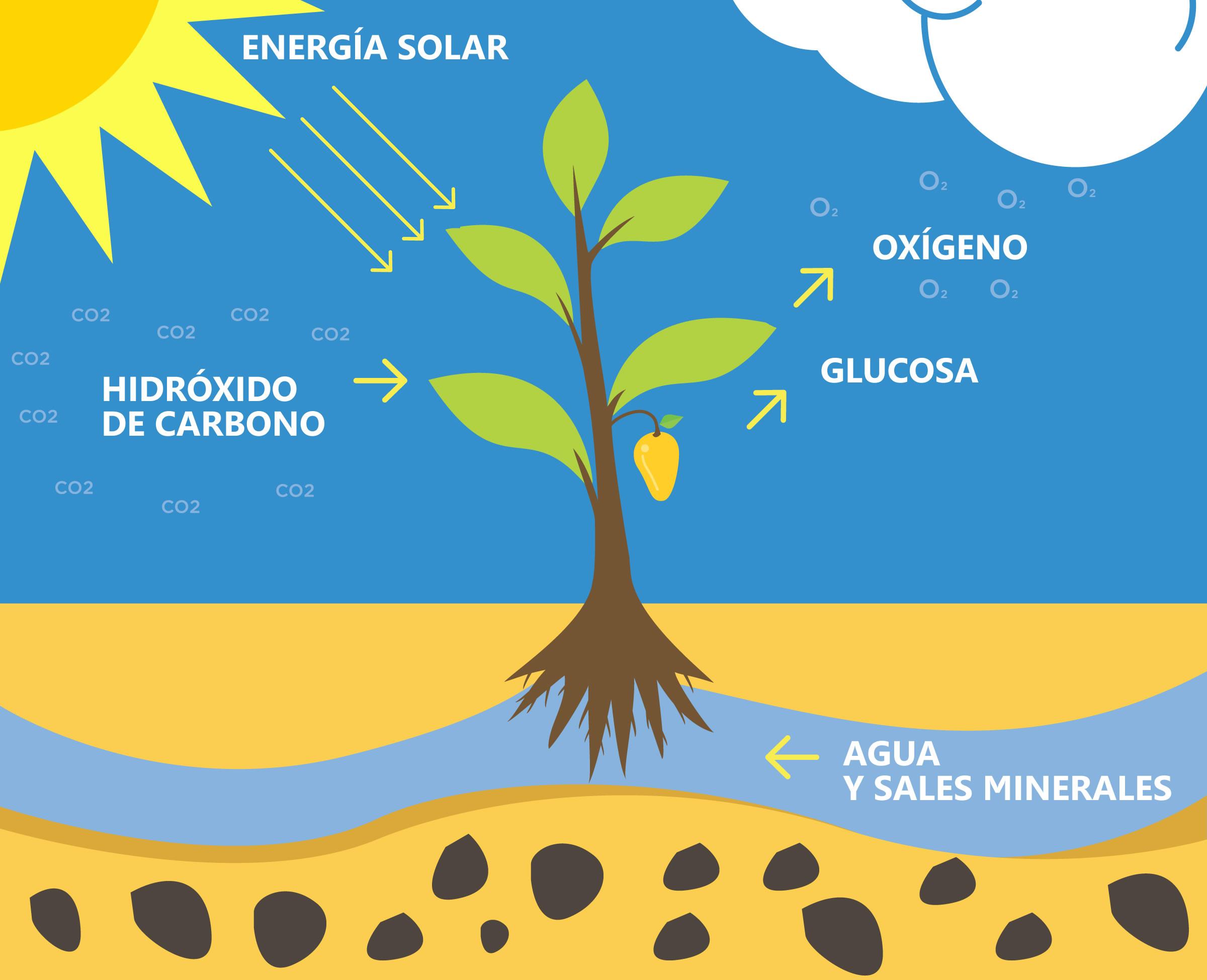 Fotosíntesis: Significado, Etapas del Proceso (Luminosa y..