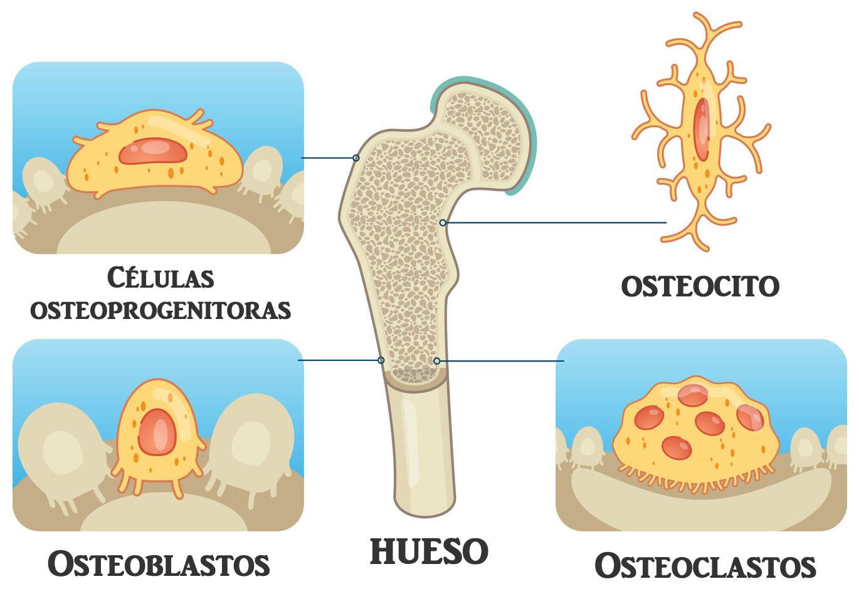 Significado De Células óseas Osteocito Osteoclastos