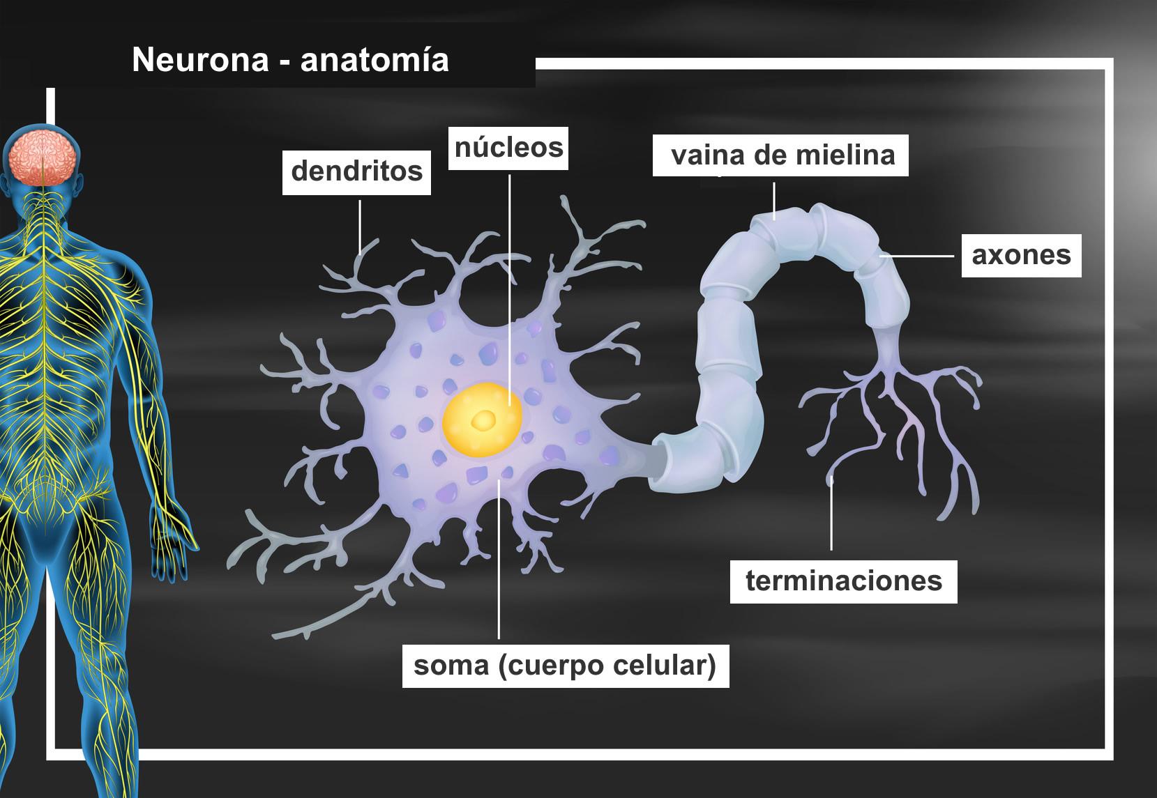 Significado De Neurona Estructura Y Funciones