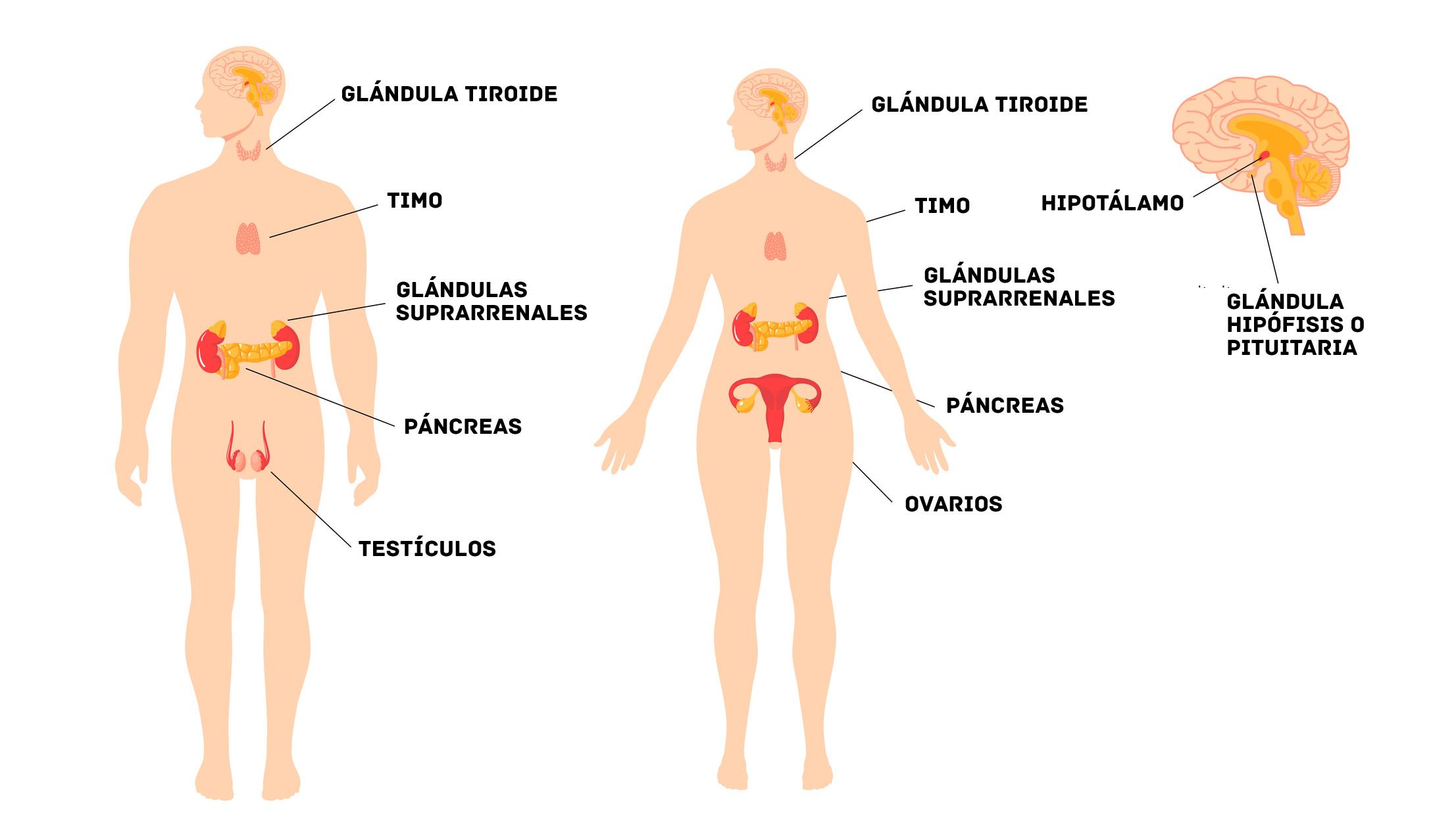 Significado Del Sistema Endocrino Estructuras Y Funciones